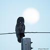 Great Gray Owl Moon