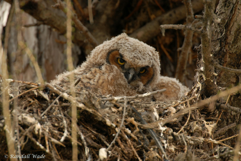 Great Horned Owl, Owlets