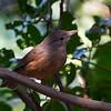 Rufous Shrike-thrush (Colluricincla rufogaster)