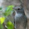 Grey Shrike-thrush ( Colluricincla harmonica )