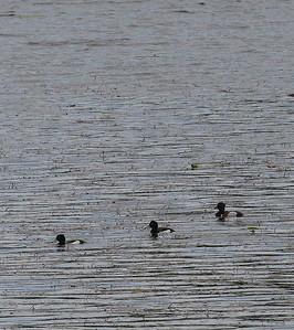 Sukeltajasorsat ja Koskelot ( Diving ducks and Sawbills)