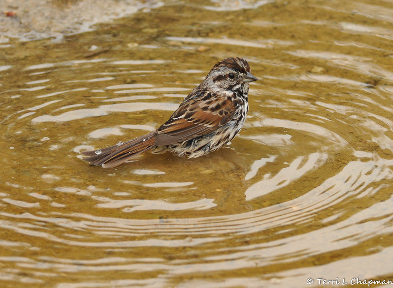 A Song Sparrow taking a bath in a puddle of water
