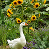 "The beloved resident domestic Goose, ""Power"", who resides at Descanso Gardens, posing by the summer Sunflowers."