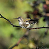 A male Anna's Hummingbird taking a bath in the garden sprinklers
