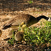 Canada Goslings and their mother having breakfast