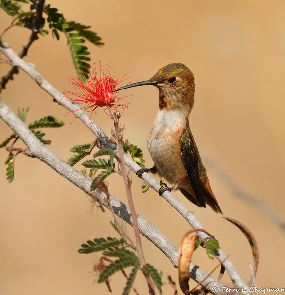 A male Allen's Hummingbird drinking the nectar of a Baja Fairy Duster bloom