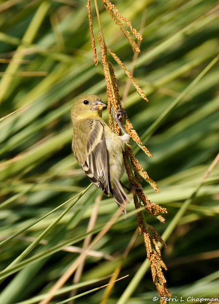 A female Lesser Goldfinch eating the seeds from a native grass plant