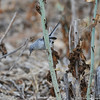 A Blue-gray Gnatcatcher searching for insects in a field of dried up Matilija Poppies.
