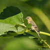 A female Lesser Goldfinch eating the leaf of a sunflower