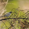 A Blue-gray Gnatcatcher
