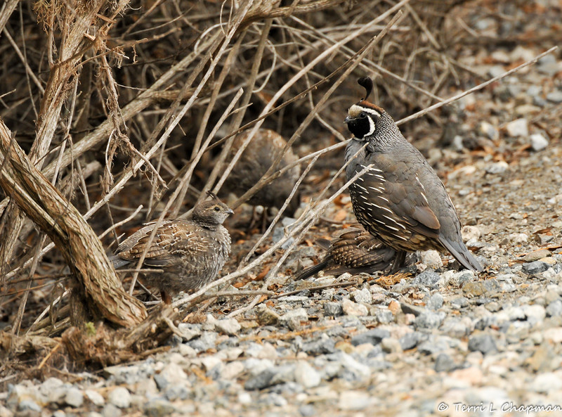 A father California Quail standing guard over his three  chicks