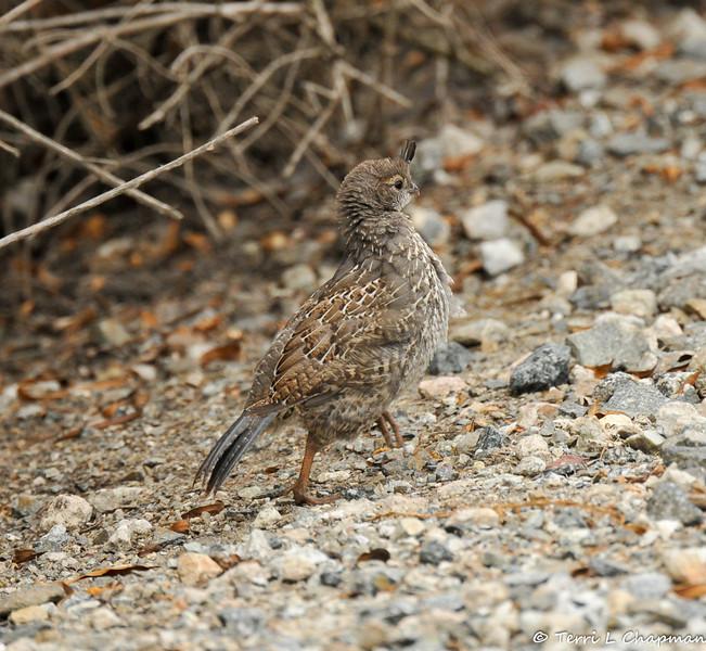 A California Quail chick