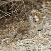 A California Quail chick