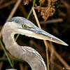 A juvenile Great Blue Heron