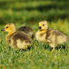 Newborn Canada Geese, which are called Goslings