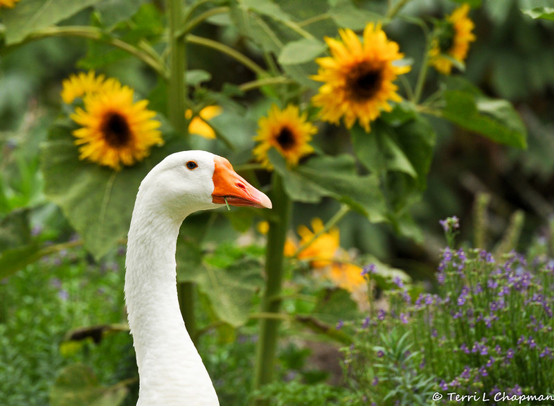 """The beloved resident domestic Goose, """"Power"""", who resides at Descanso Gardens, posing by the summer Sunflowers."""