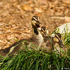 Mallard Ducklings resting on top of a native grass plant