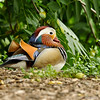 A male Mandarin Duck. The Mandarin Duck is native to east Asia, but isolated populations exist in the United States as a result of several ducks escaping from captivity, then going on to reproduce in the wild. This Mandarin Duck was photographed in Arcadia, CA.