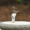 A Song Sparrow perched on a drinking fountain