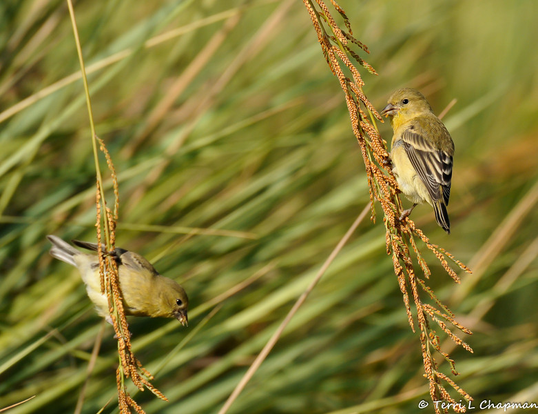 Female Lesser Goldfinches eating the seeds from a native grass plant