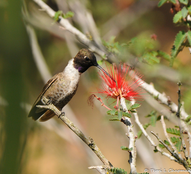 An adult male Black-chinned Hummingbird drinking nectar from a Baja Fairy Duster bloom