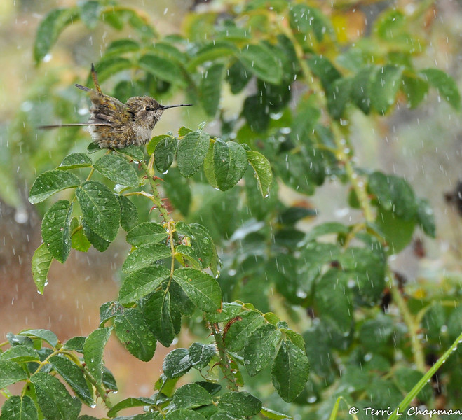 An Anna's Hummingbird taking a sprinkler bath on top of rose leaves