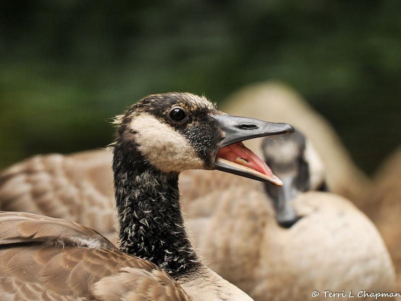 A juvenile Canada Goose