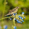 A female Lesser Goldfinch on a Salvia azurea plant