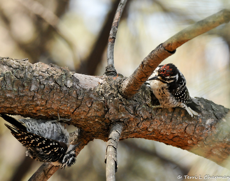 Two juvenile male Nuttall's Woodpeckers discovering each other on an Oak Tree and they were not too happy about it!