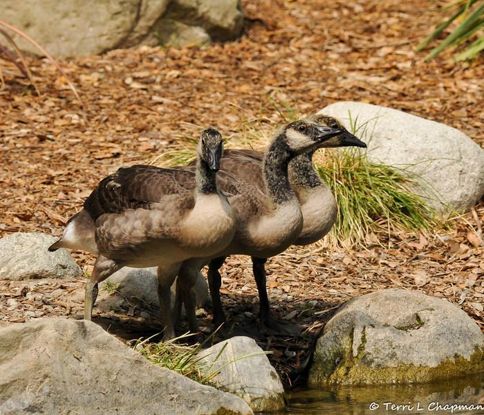 Three juvenile Canada Geese