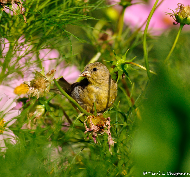 A female Lesser Goldfinch eating the seeds of a Cosmos flower