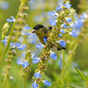 A male Lesser Goldfinch on a Salvia azurea plant
