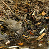 A female California Quail drinking water from a stream (not pictured are her 6 chicks and her mate that are drinking water drown stream)