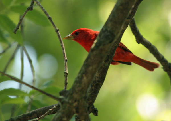 Summer Tanager - McClaughry Springs Woods