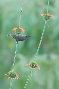 Amethyst Sunbird - Female - Lake Nakuru National Park, Kenya