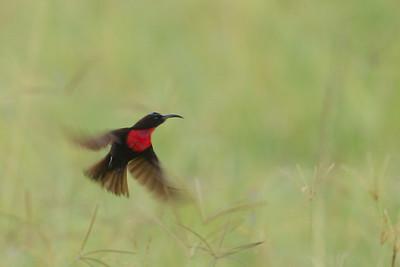 Amethyst Sunbird - Lake Nakuru National Park, Kenya