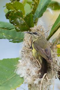 Beautiful Sunbird - Female - Lake Nakuru National Park, Kenya