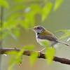 Tailor Bird, tiny bird and one of my favorites