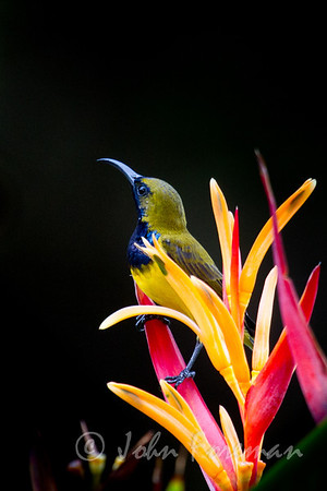 Male Olive-backed sunbird, Singapore