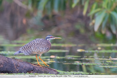 Sunbittern - Oxbow lake near Tambo Blanquillo Lodge, Peru