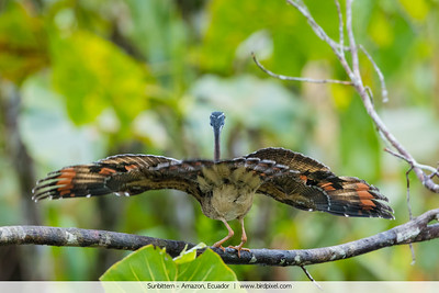 Sunbittern - Amazon, Ecuador