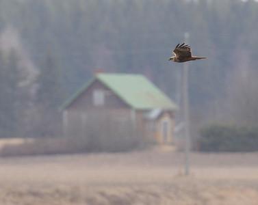 Suohaukat (Harriers)