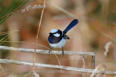 Superb Fairy-wren - Male