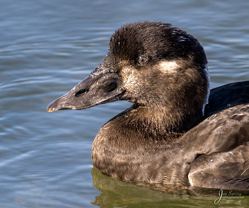 Female Surf Scoter