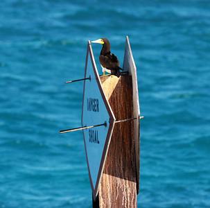 December 2009, Dry Tortugas National Park, Florida, USA  Matkalla Dry Tortugasin saarelle, laivaväylän merkeillä istuskeli muutamia ruskosuulia. Alus ohitti merkit melko läheltä, mutta liian nopeasti, jotta niistä olisi saanut hyviä kuvia. Läheisellä hiekkasärkällä  makoili kymmnekunta naamiosuulaa.  Dry Tortugas on käsittääkseni ainoa paikka USA.ssa, missä nämä kaksi suulalajit pesivät. Lisäksi  merialueella näkyi tavallisia suulia.  I photograped this Brown Booby onboard from the ferry Yankee Freedom en route to Dry Tortugas National Park. It was roosting on channel marker while enetering the Dry Tortugas. As I was advised the scanning of these channel markes revealed several roosting Brown Boobies but getting good shots of them was impossible from the rocking boat.