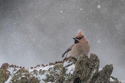 Sidensvans i snöstorm