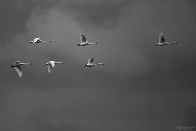 Knölsvanar i svartvitt
