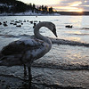 Youth swan in the sunset. Stll got the brown feathers.