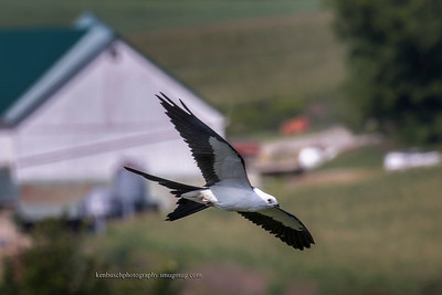 Swallow-tailed kite 0563
