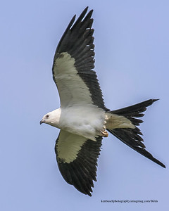 Swallow-tailed kite 0645